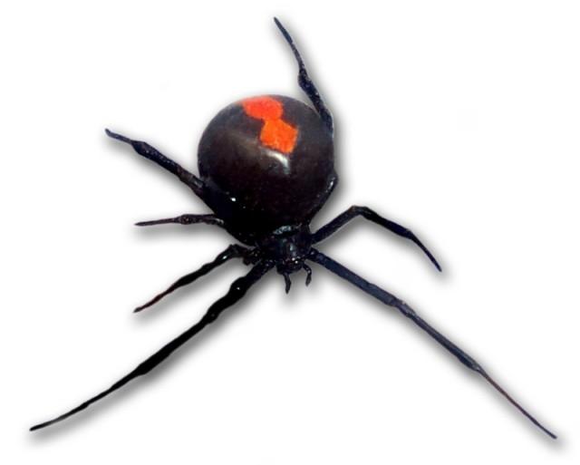 危険!福山でセアカゴケグモが確認されました|福山市