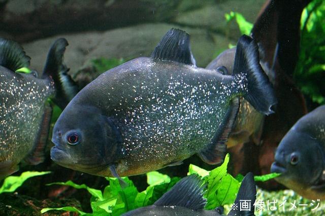 piranha-587661_640