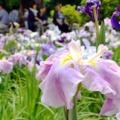 春日池公園の菖蒲♪2018年6月13日の様子をレポートします!【福山市春日町】